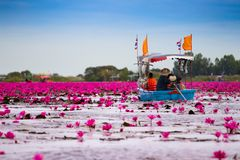 Visitors are sailing to see the red lotus in the lake. Visitors are sailing to see the red lotus in the lake at Udonthani Thailand stock photography