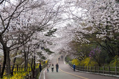 Visitors stroll at Namsan park at Seoul during full bloom of cherry blossom. Royalty Free Stock Photos