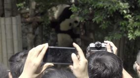 Visitors take digital pictures of a Panda. Visitors take digital picture technology of a Panda stock video footage