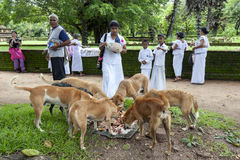 Visitors to ancient site of Polonnaruwa in Sri Lanka feed the local dogs their left over food. Stock Photography