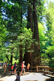 Visitors to Muir Woods National Monument Royalty Free Stock Photos