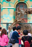 Visitors touching the grraffe in the zoo Stock Photo