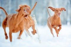 Visla vermelho energético bonito do cão que corre no inverno da neve foto de stock