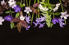 First flowering plants periwinkle, hyacinths, flowering prunes with cherry blossoms on a black background. A group of the first flowering plants periwinkle stock images