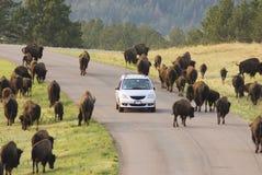 visning för 7 buffel Arkivbilder