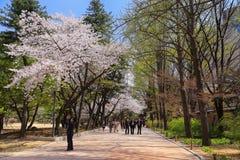 Visning för körsbärsröd blomning, Korea Arkivfoto
