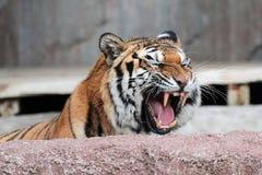 Visningtänder för Siberian tiger (den Pantheratigris altaicaen) Royaltyfri Fotografi