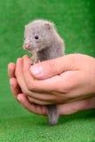 Vison animal gris Photo stock