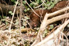 Vison de Mink Mustela do americano que come o alimento recentemente travado no undergrove Imagem de Stock Royalty Free