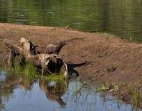 Vison em um log com reflexão no rio Foto de Stock
