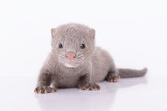 Visone animale grigio Fotografia Stock Libera da Diritti