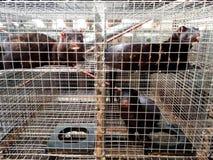 Visone nella cattività Immagine Stock Libera da Diritti