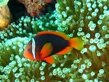 Vissen 1 van de clown Royalty-vrije Stock Afbeeldingen
