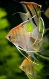 Vissen 1 van Scalare Stock Afbeelding