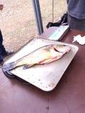 Vissen Stock Foto