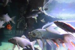 Vissen in aguarium stock afbeelding