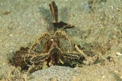 Vissen - Ambon-scorpionfish Stock Fotografie
