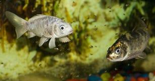 Vissen in aquarium Royalty-vrije Stock Afbeelding
