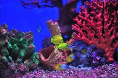 Vissen in aquarium. Stock Afbeelding