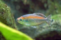 Vissen in Aquarium stock afbeeldingen