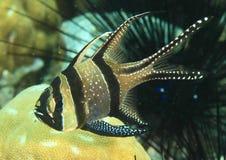 Vissen - Banggai cardinalfish Stock Afbeeldingen