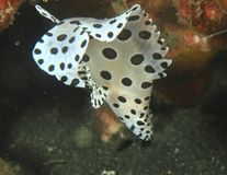 Vissen - Barramundi - jongere stock afbeeldingen