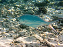 Vissen: bevlekt pijltje stock foto's