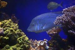 Vissen in blauw Stock Foto