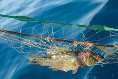 Vissen Bruine die Wrasse in het net wordt gevangen Royalty-vrije Stock Foto's