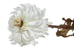 Vissen chrysanthemum royaltyfria foton