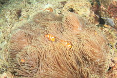 Vissen - Clown anemonfish Stock Foto