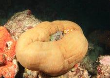 Vissen - Clown anemonfish Royalty-vrije Stock Foto's