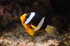 Vissen Clownvissen in marien aquarium Stock Afbeelding