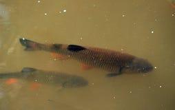 Vissen in de rivierkopvoorn royalty-vrije stock foto