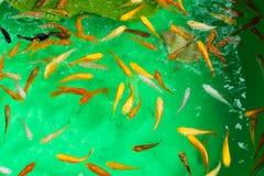 Vissen in de vijver Stock Foto's
