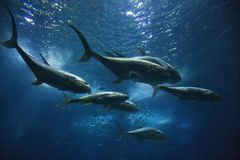 Vissen die in aquarium zwemmen. Stock Fotografie