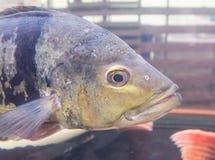 Vissen die in aquarium zwemmen Stock Foto's