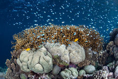 Vissen die boven Koralen zwemmen Royalty-vrije Stock Fotografie