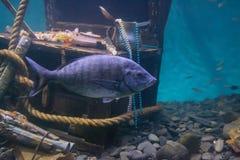 Vissen die in het water dichtbij de schat drijven stock fotografie