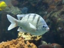 Vissen die in koraalrif zwemmen Stock Foto's