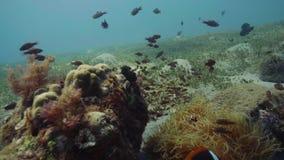 Vissen die onder koraalriffen en zeewier op zeebeddings onderwatermening zwemmen stock video