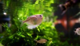 Vissen die onder oppervlakte zwemmen Stock Fotografie