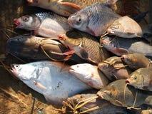 Vissen die van de Mekong Rivier worden gevangen Royalty-vrije Stock Afbeelding