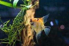 Vissen die van het zeeëngel scalare de kleine aquarium in het aquarium zwemmen royalty-vrije stock afbeeldingen