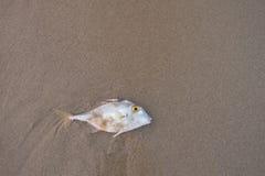 Vissen dood op het strand De ruimte van het exemplaar Royalty-vrije Stock Fotografie
