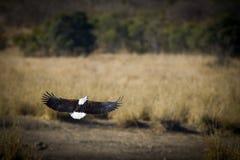 Vissen Eagle Royalty-vrije Stock Foto
