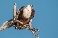 Vissen Eagle royalty-vrije stock afbeelding
