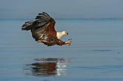 Vissen Eagle Royalty-vrije Stock Afbeeldingen