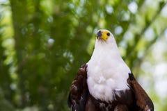 Vissen Eagle Looking rechtstreeks bij ons stock foto