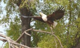 Vissen Eagle Springing To Flight Stock Foto's